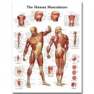 Human Anatomy Muscles System Poster Huge Print 32x24