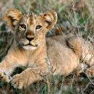 Lion Cub Poster Photo Print 32x24