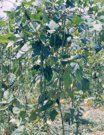BEAN, CLIMBING - SNAKE BROWN SEED. 26 Seeds. # G015-26.
