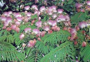 ALBIZIA - PERSIAN SILK TREE. 20 Seeds. # G146-20.