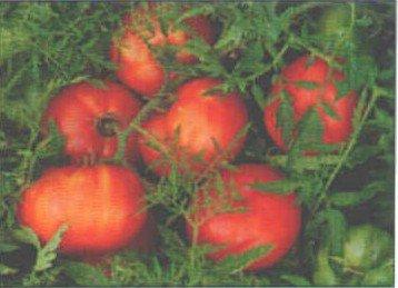 TOMATO - SILVERY FIR TREE. 35 Seeds. # G177-35.