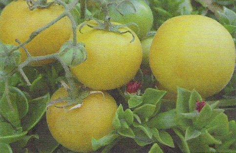 TOMATO - WAPSIPINICON PEACH. 20 Seeds. # G450-20.