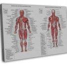 Human Body Anatomical Chart Muscular System Wall Decor 20x16 FRAMED CANVAS Print