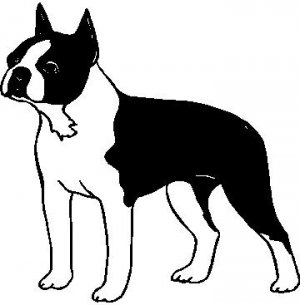 Boston Terrier - custom vinyl graphics 5x5 inch
