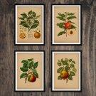 Fruits Antique Print Set of 4 Wall Art Home Decor