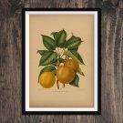 Fruit Print - Apple Vintage  Print Wall Art Home Decor - Antique