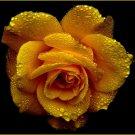 Yellow Rose - Air Freshener