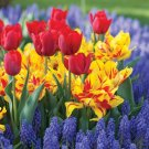 Bastogne and Monsella Tulip Combination 150 Bulbs