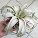 """Air Plant Tillandsia   Xerographica """"Queen of Airplants"""" Large 5-6 in x1"""