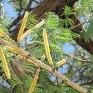 Senegalia (Acacia) catechu - Katha for flavouring Paan / betel leaf - 50 seeds
