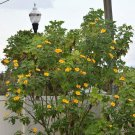 Tithonia diversifolia, 35 seeds, tree marigold, mexican sunflower, fast growing