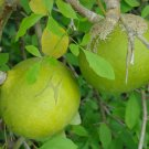 Aegle marmelos - 50 seeds, bael fruit, Bengal quince, Stone apple