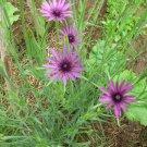 Tragopogon porrifolius 'Fiore Blu' - 250 seeds, salsify, heirloom vegetable