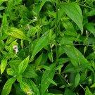 Andrographis paniculata 125 seeds, medicinal herb, king of bitters