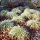 Carex albula 'Frosted Curls' - 200 seeds, ornamental grass