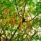 Moringa oleifera, prov. Maharashtra - 20 seeds for sowing, nutritious, medicinal