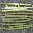 Moringa oleifera PKM2-improved pod production- 15 seeds, nutritious, medicinal