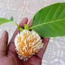 Neolamarckia cadamba (syn. Anthocephalus cadamba) - 250 seeds, kadam tree