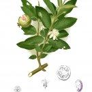 Psidium guajava collection-60 seeds Apple, Allahabad safeda, Lucknow 49 / Sardar