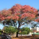 Cassia grandis - 35 seeds, pink/coral shower tree