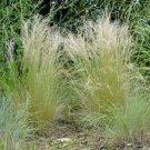 Stipa tenuissima - 300 seeds, pony tails, Nasella, ornamental grass