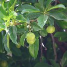 Dillenia indica - elephant apple, 100 seeds, chalta, Indian catmon