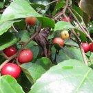 Flacourtia jangomas - 25 seeds, Indian coffee plum, lovlolika