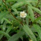 Eclipta prostrata - 100 seeds, false daisy, medicinal plant