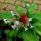 Rauvolfia serpentina - 10 seeds, medicinal plant