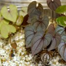 Dioscorea hamiltonii - 15 seeds, yam