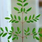 Moringa oleifera ODC - 10 seeds, nutritious, medicinal