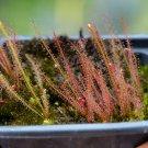 Drosera filiformis v. filiformis 'Florida Red' - 40 seeds, hardy carnivorous plant