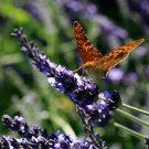 Croatian Lavender (lavandula x intermedia or hybrida) pure organic essential oil (50 ml, 1.69 oz)