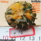 Weibog 1Pcs A Set Style 4 hot yellow green Astrophytum asterias Mini Plant 99usd 1 set