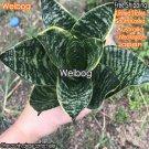 Weibog 2Pcs A Set height about 12cm Sansevieria trifasciata Prain 58usd 1 set