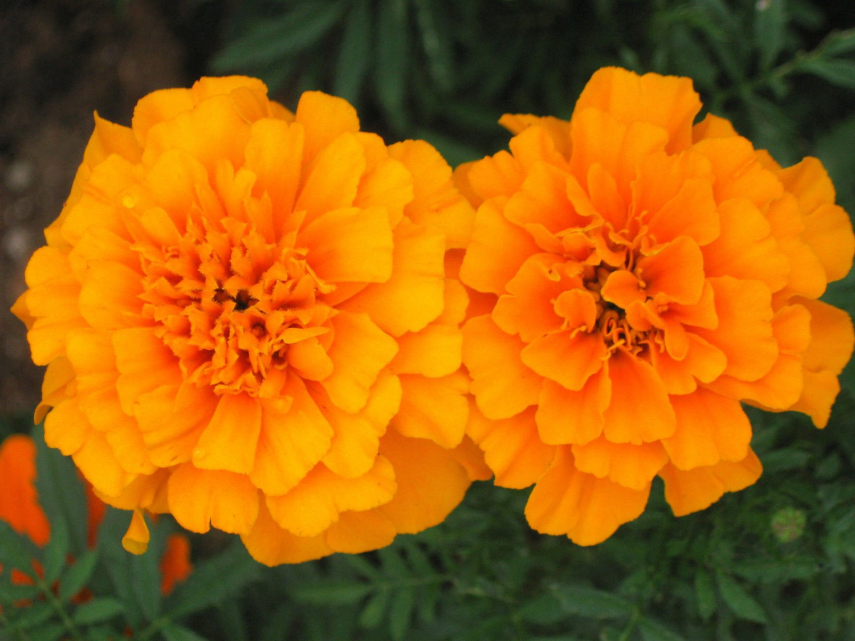 Marigolds Shade Orange Marigold Seeds French Marigolds Heirloom Seeds