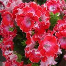 Geranium Red Corrugated Double Petals with White Centre Flowers Seeds, 10 Seeds