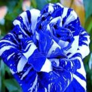 500g seeds / pack, BLUE STRIPE ROSE   BLUE WHITE DRAGON