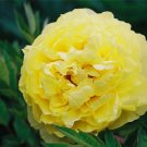 Huang Huakui Golden Yellow Peony Flowers Seeds 5pcs