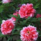 Rare White Red Tree Peony Tree Seeds 5PCS Great for Garden Flowers