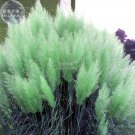 Impressive Coloful Pampas Grass Seeds, 100 seeds, ornamental