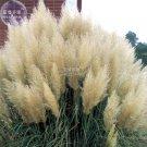 Impressive Coloful Pampas Grass Seeds, 100 seeds, ornamental