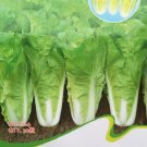 Cabbage Wong Bok Vegetable Seeds, Original Pack, 30 Seeds / Pack