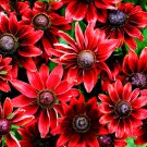 Cherry Dark Red Black Eyed Coneflowers Echinacea Seeds