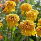 Rare Pineapple Sundae Echinacea Coneflowers, 100 Seeds, Yellow