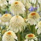 Echinacea Milky White Perennial Flower Seeds, 200 seeds