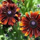 Orange Black Echinacea PurpureaSeeds Coneflowers, 100 Seeds
