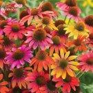 Rare 'Cheyenne Spirit' Mixed Echinacea Coneflower, 100 seedas