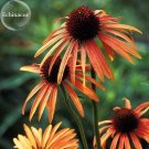 Green Jewel' Echinacea Lovely Pale Yellow Coneflowers, 100 seeds,
