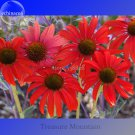 Rare 'Sprite' Fire Red Echinacea, 100 Seeds, big petals with small heart
